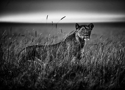 5867-Lioness_in_the_grass_Kenya_2014_Laurent_Baheux