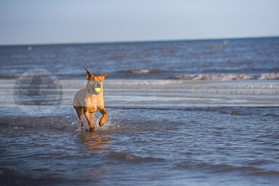 tan mixed breed dog fetching ball running in lake with waves