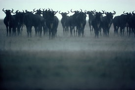 Wildebeeste in rain
