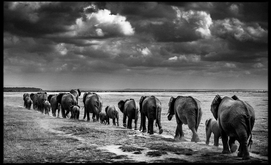 7514-Elephants_crossing_the_plain_II_Amboseli_Kenya_2013_Laurent_Baheux