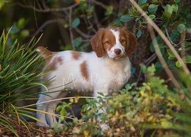 Spaniel puppy in garden among plants looking at camera