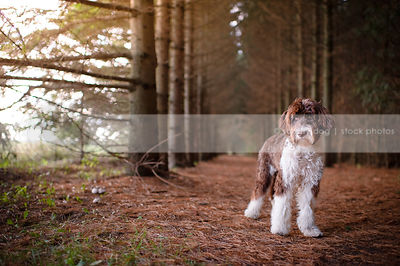 shy brown and white portuguese water dog standing in pine forest