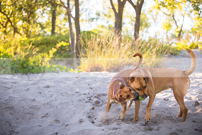 two mixed breed dogs playing keep away with ball in sand