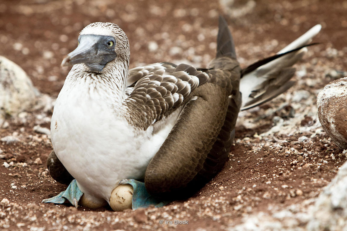 A blue-footed booby found on North Seymour Island in the Galapagos.