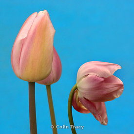 Tulips_on_blue_x_3