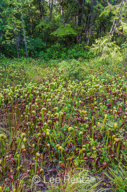 Carnivorous Cobra-lily Plants at Oregon's Darlingtonia Wayside