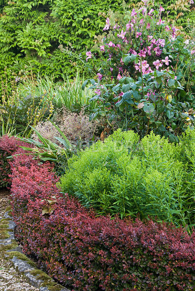 Beds containing a mix of herbaceous perennials, shrubs and bulbs near the house are edged with low hedges of Berberis thunbergii f. atropurpurea 'Atropurpurea Nana'. Beds include seedheads of Allium cristophii, Campanula lactiflora 'Loddon Anna' and Clematis 'Alionushka'. The Cider House, Buckland Abbey, Yelverton, Devon, UK