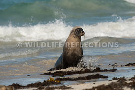 sea_lion_australian_wave_edge-8