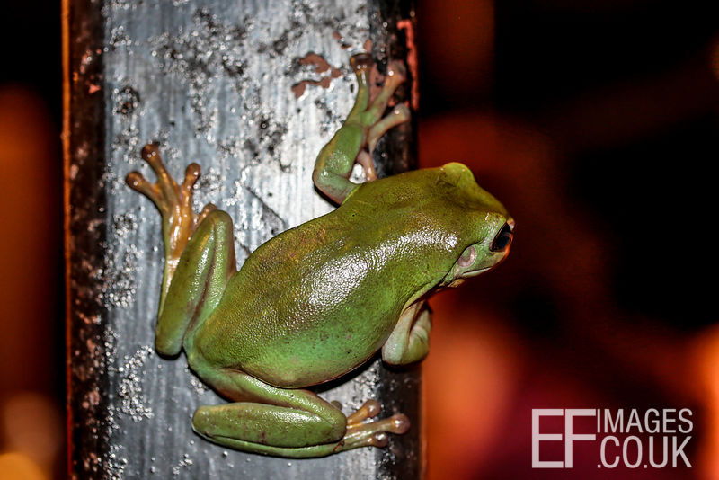 Green Tree Frog Peering Round A Pole