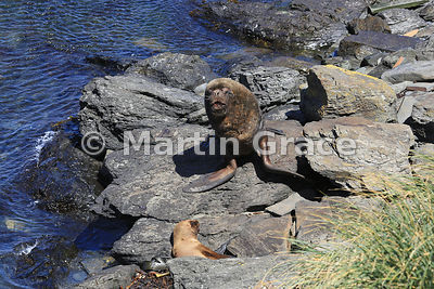 Male Southern Sea Lion (Otaria flavescens), Sea Lion Island, Falkland Islands