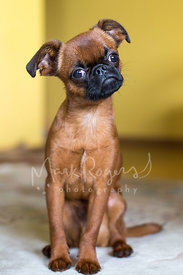 Shorthaired Brussels Griffon Puppy with Head Tilt