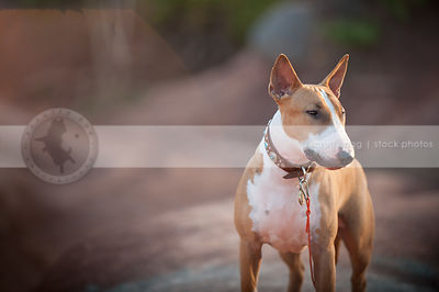 tan and white dog standing in red clay valley with bokeh background