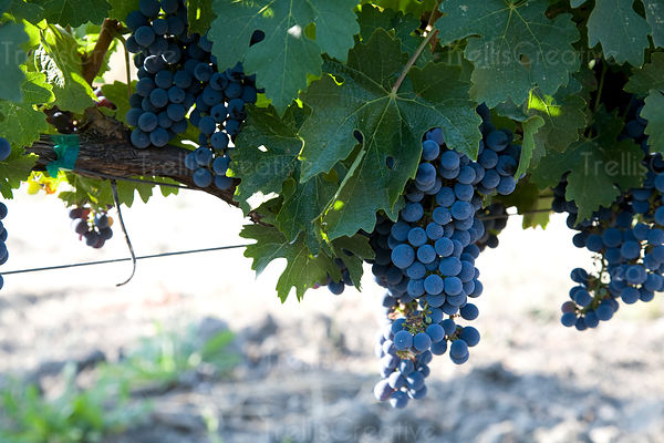 Ripe clusters of cabernet sauvigon hang on the vine