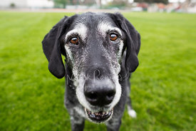 Close-up Wide Angle Portrait of Senior Black Labrador Mix