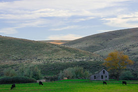 Close_up_Old_house_and_cows_on_the_way_to_Lexington