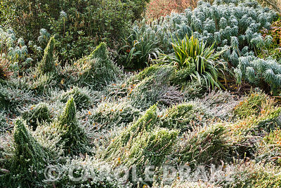 Frosted border in the Winter Garden with undulating mounds of Euonymus fortunei 'Minimus' with euphorbia and garrrya behind. The Sir Harold Hillier Gardens/Hampshire County Council, Romsey, Hants, UK