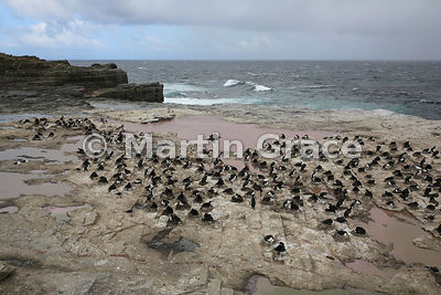 King Shag (King Cormorant) (Phalacrocorax atriceps albiventer) colony, Sea Lion Island, Falkland Islands