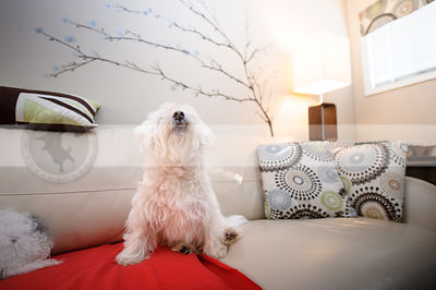 little white groomed dog looking skyward on leather couch
