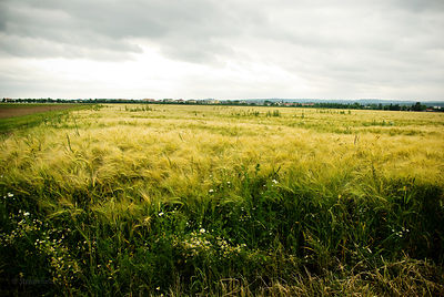 The Barley Field