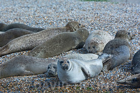 Common (Harbour) Seals with on Blakeney Point Norfolk summer