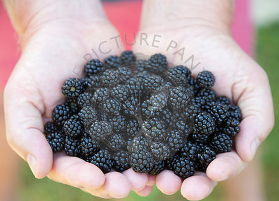 freshly picked wild blackberries held in the hand, with red shorts background