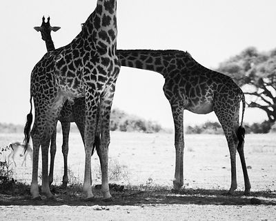 5024-Giraffe-I_lose_my_mind_in_Africa_Kenya_2015_Laurent_Baheux