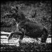 8973-Hyena_running_in_the_river_Laurent_Baheux
