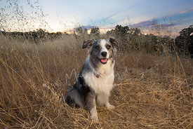 Australian shepherd with sunset