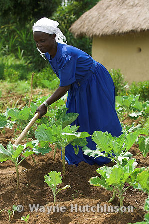 Woman in blue dress with hoe cultivating crop outside hut, Busia, Kenya Africa