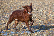 Irish setter running on beach