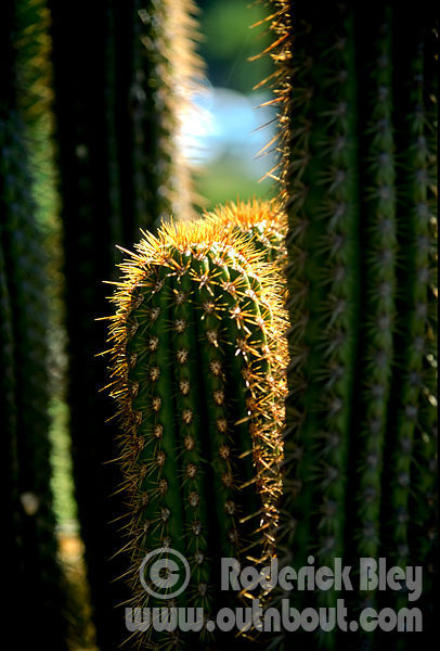 Golden Cactus Tips