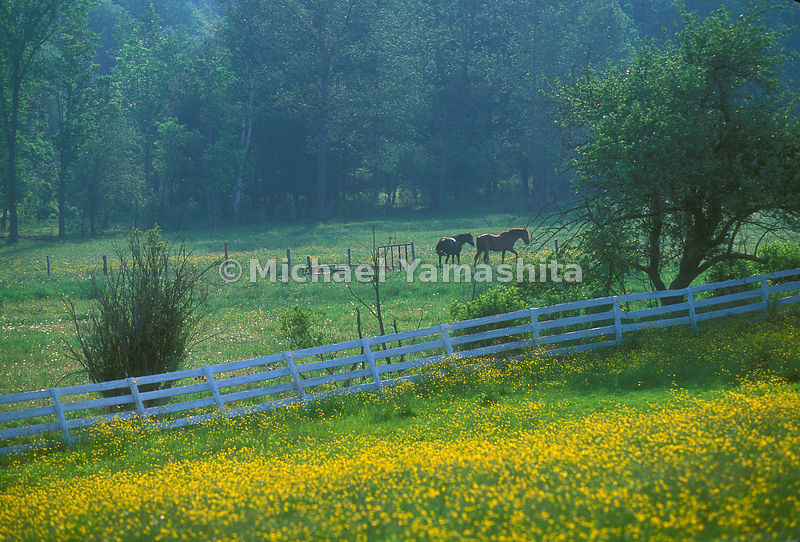 A dandelion field in Vermont's Backroads.