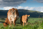 Herd of commercial beef cattle in pasture with lots of grass, Cumbria, UK.