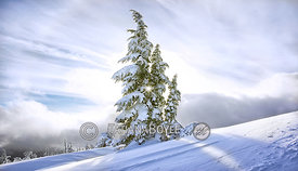 Winter hemlock in sunset rays