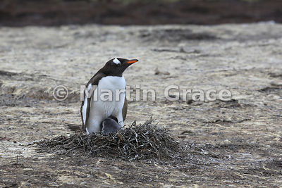 Gentoo Penguin (Pygoscelis papua papua) guarding its late-hatched chick on the nest, colony beneath Middle Peak, Pebble Island, Falkland Islands