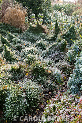 Frosted border in the Winter Garden with undulating mounds of Euonymus fortunei 'Minimus' and colourful Nandina domestica 'Wood's Dwarf' in foreground. The Sir Harold Hillier Gardens/Hampshire County Council, Romsey, Hants, UK
