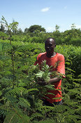 Lusi Community Orphans project, cutting nitrogen fixing Fodder trees, which help enrich the soil, western Kenya, Africa