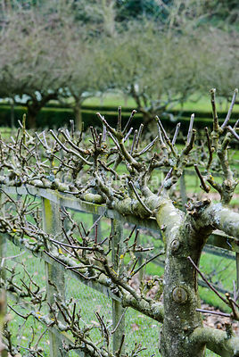 Espaliered apples and pears are grown against the fences around the geometric Kitchen Garden. Painswick Rococo Garden, Painswick, Glos, UK