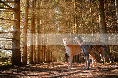 two greyhound dogs standing together in forest of pines