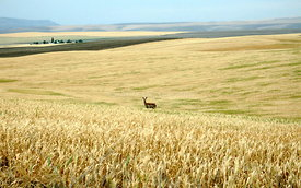 Deer in wheat field
