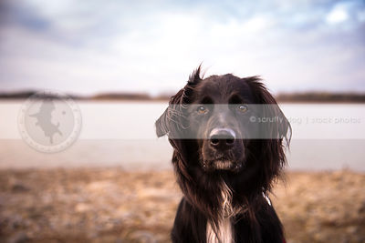 portrait of intense black dog staring from lake shore under sky