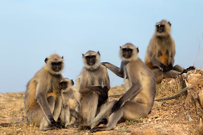 Langur monkeys at Taragarh Fort, Ajmer Rajasthan, India