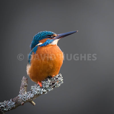 MALE COMMON KINGFISHER by David Hughes