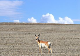 Antelope in eastern Oregon
