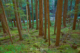 Mossy Forest along Trail to Royal Basin in Olympic National Park
