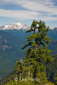 Mountain Hemlock (Tsuga mertensiana) with Glacier Peak in the distance from Mt. Forgotten Meadows, Mt. Baker-Snoqualmie National Forest, Cascade Mountains, Washington, USA, August, 2008_WA_4598