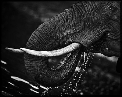7767-Elephant_drinking_water_with_his_trump_Laurent_Baheux