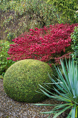 Clipped yew ball, glaucous yucca and scarlet Euonymus alatus beside the drive.