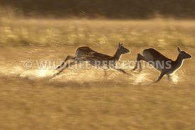 red_lechwe_two_running