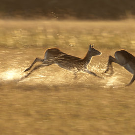 Lechwe wildlife photos